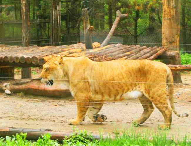 Liger Births at Everland Liger Zoo in South Korea have always received a great degree of buzz.