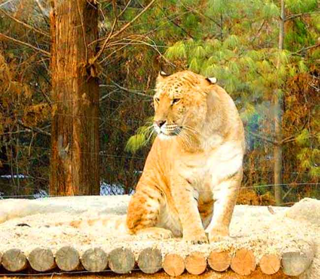 A Liger at its enclosure in Everland Liger Zoo in South Korea.