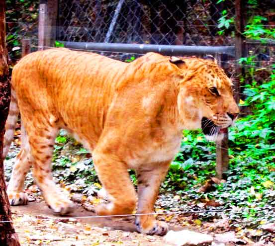 Liger Zoo - Everland Zoo in Yongin South Korea.