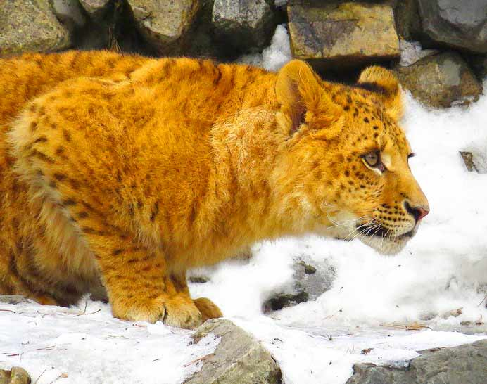 Novsibirsk Zoo is famous for Li-Ligers. A Li-Liger has male lion as its father and female liger as its mother.