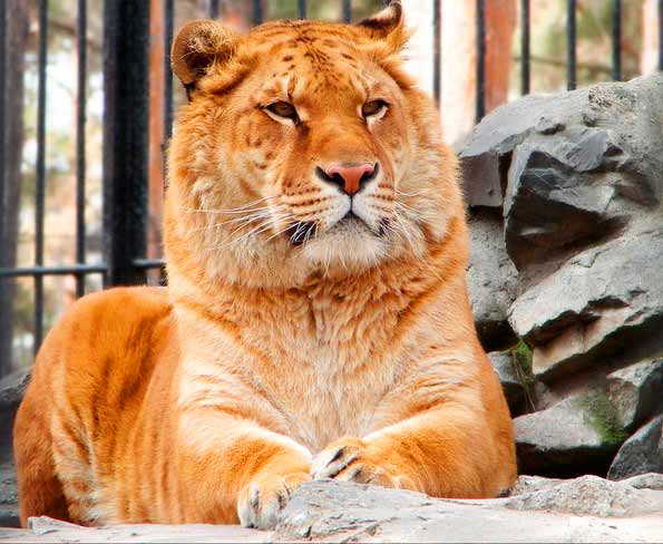Zita and Zik the liger were the first liger to be born at Russia in Novosibirsk Zoo.