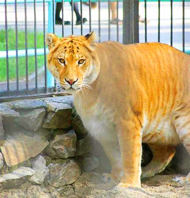 Liger at its enclosure at Novosibirsk Zoo in Russia.