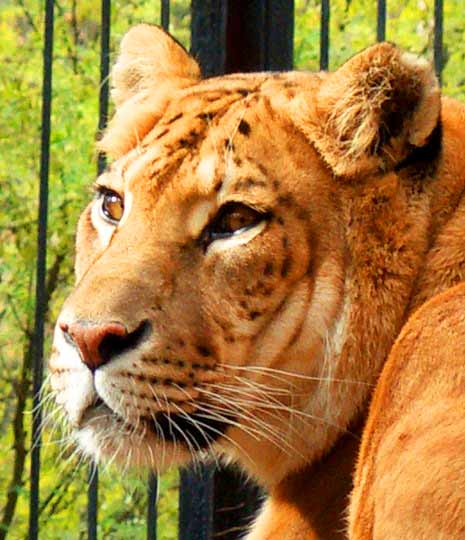 Novosibirsk Zoo in Russia is a very popular liger zoo because of presence of the ligers.