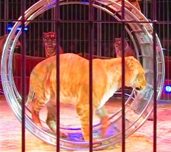 Liger delivering circus performance at Ainad Shrine Circus Liger Zoo.