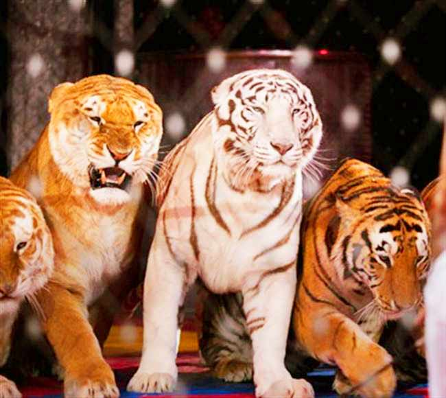Male Liger at Ainad Shrine Circus - Liger Zoo