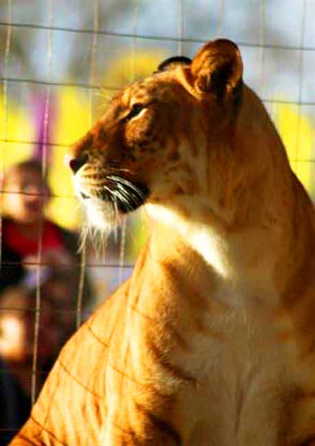 Liger Circus at Big Cat Habitat & Gulf Cost Sanctuary Liger Zoo.