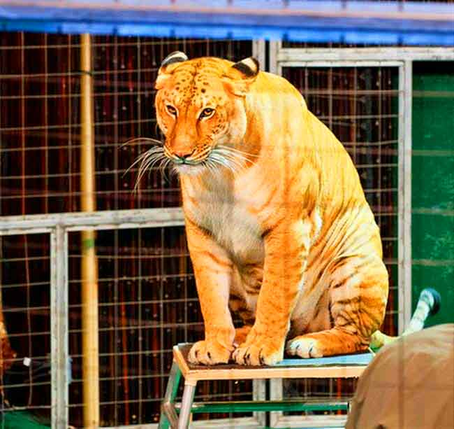 Liger Mia at Liger Zoo named as Big Cat Habitat & Gulf Coast Sanctuary.