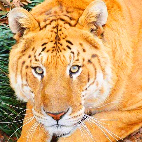 Broken Arrow Animal Shelter Liger Zoo has rescued a lot of Big Cats. This Liger Zoo is located at Oklahoma, USA.