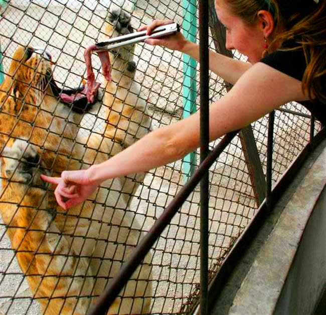 Liger eating meat from a visitor at Harbin Liger Zoo in China.