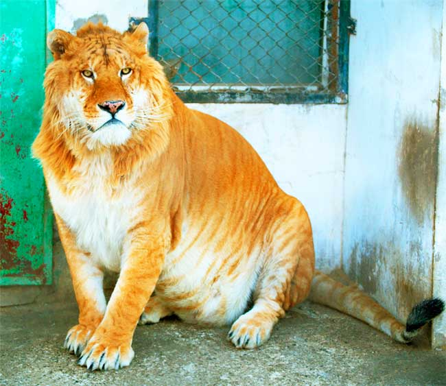 Liger Zoo Harbin China.