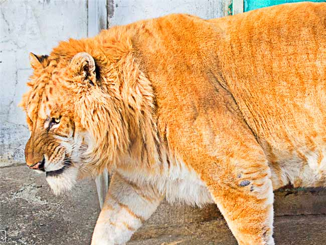 Male Liger at Harbin Liger Zoo in China.