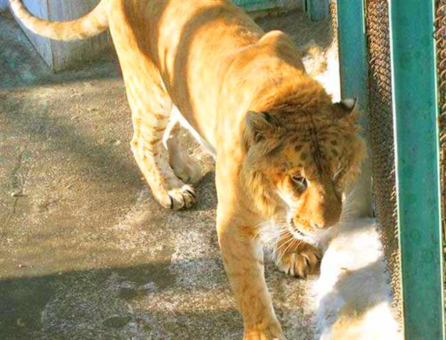 Harbin Liger zoo is very popular liger zoo because of the presence of the ligers.