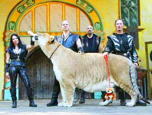 The presence of Liger at King Richard's Faire further increases the popularity of King Richards faire.