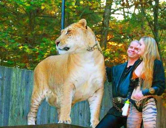 Liger at King Richard's Faire, Massachusetts, USA | Liger Zoos
