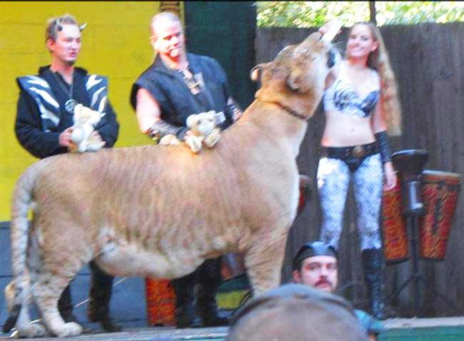 Ligers at Stage of King Richard's Faire Liger Zoo.