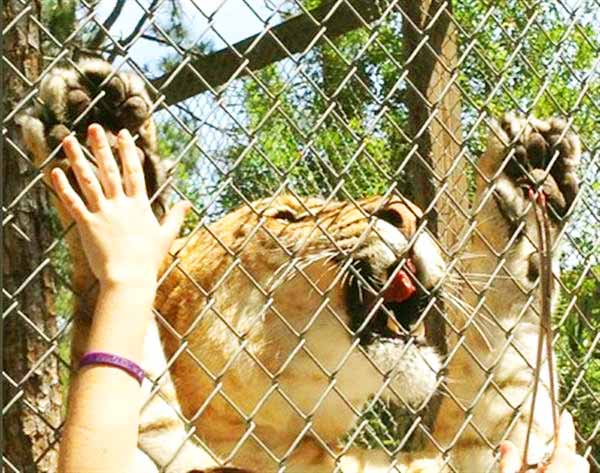Liger At Mccarthy S Wildlife Sanctuary