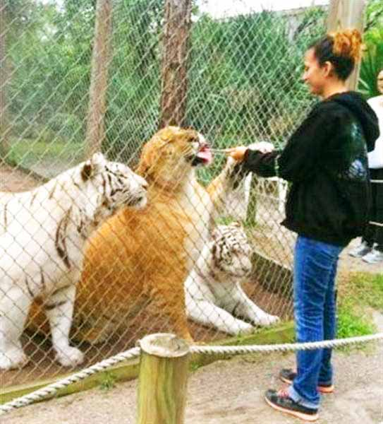 Liger Having A Meal At Mccarthy Wildlife Sanctuary Zoo In Florida