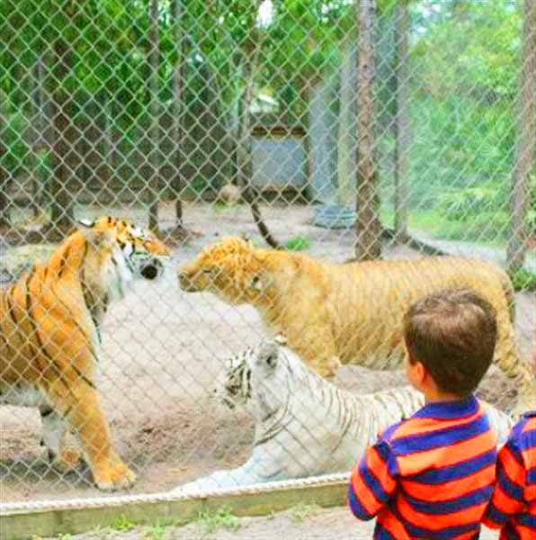 Liger and Tigers enclosure at McCarthys Liger Zoo at West Palm Beach, Florida, USA.