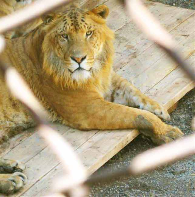 Liger events at McClellands critter Zoo in Alabama.