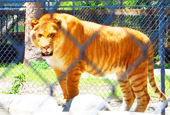 Jerry the Liger at McClelland Critter Zoo in Alabama, USA.