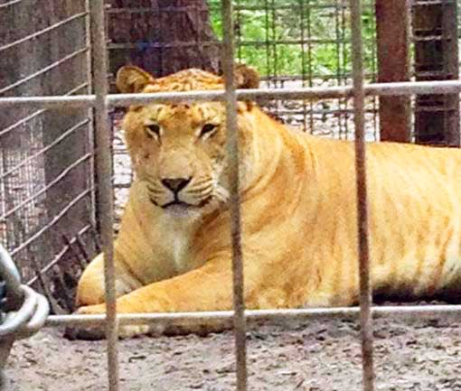 McClelland Critter Zoo is a popular liger zoo.