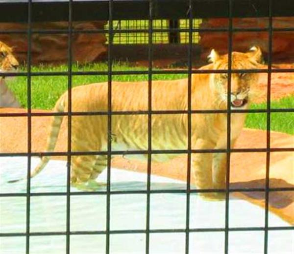 Missouri Liger zoo is Popular for Wild Animal Safari and also for Ligers as well.