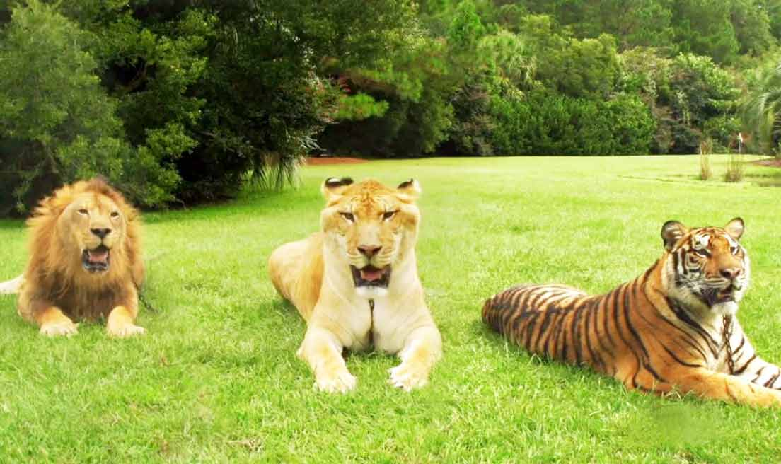 Myrtle Beach Safari is the biggest Liger Zoo in the world.