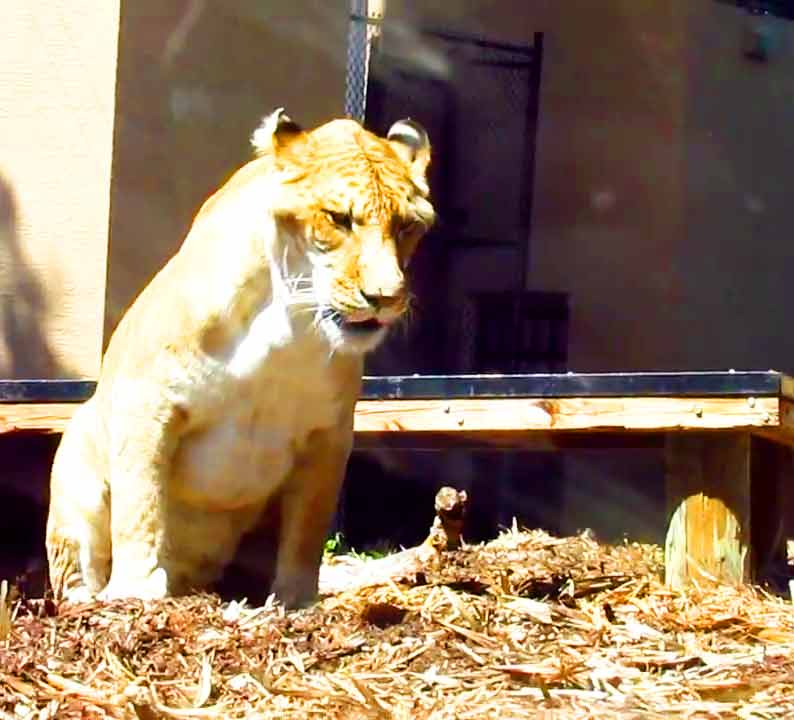 Liger Zoo And Enclosures At Myrtle Beach Safari