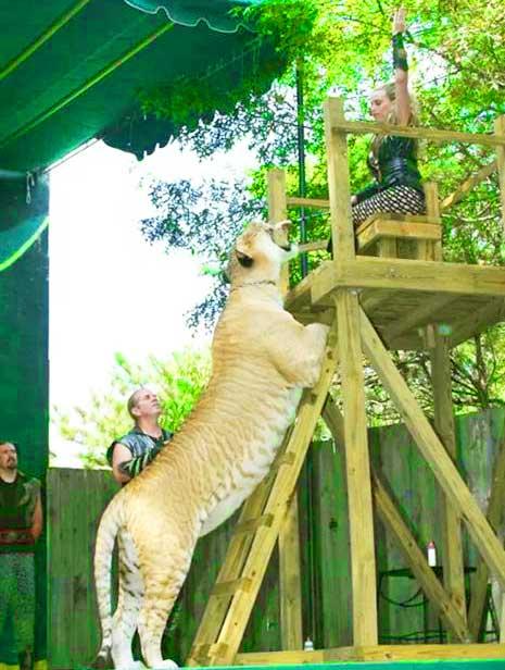 Liger At Ren Faire Virginia Renaissance Usa Zoos