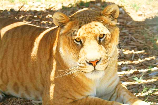 Ligers offer big cat conservation at Serenity Springs Wildlife Center Located at Calhan, Colorado, USA.