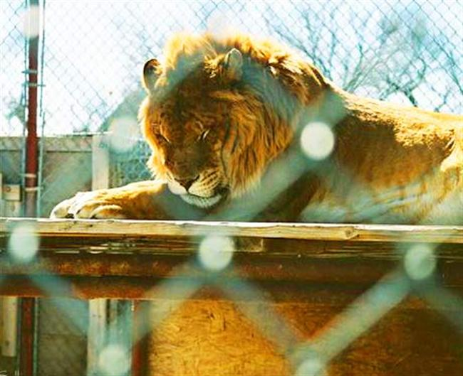 Liger Zoo at Calhan, Colorado, USA - Serenity Springs Wildlife Center.