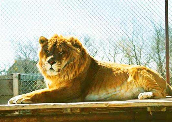 Liger Zoo - Serenity Springs Wildlife Center at Calhan, Colorado, USA.