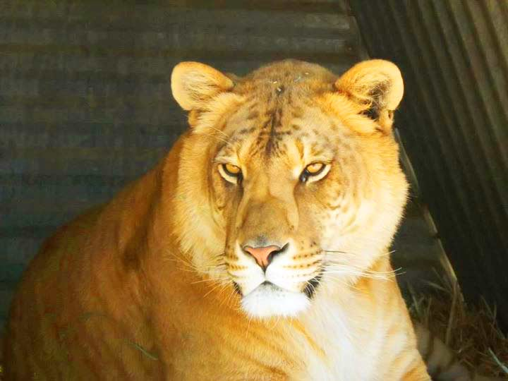 Reno Liger Zoo has a female like called Kalika the liger.