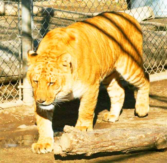 Sierra Safari Liger Zoo is famous because of the presence of Kalika the Liger.