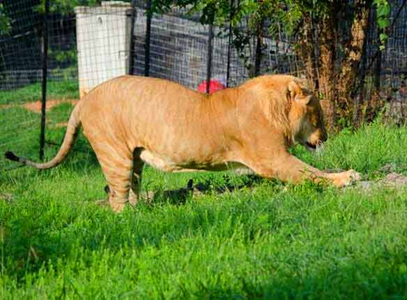 Liger experience at Natal Zoological Gardens Liger Zoo in South Africa.
