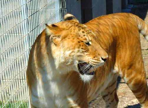 Liger Popularity at Natal Zoological Gardens Pietermartizburg, South Africa.