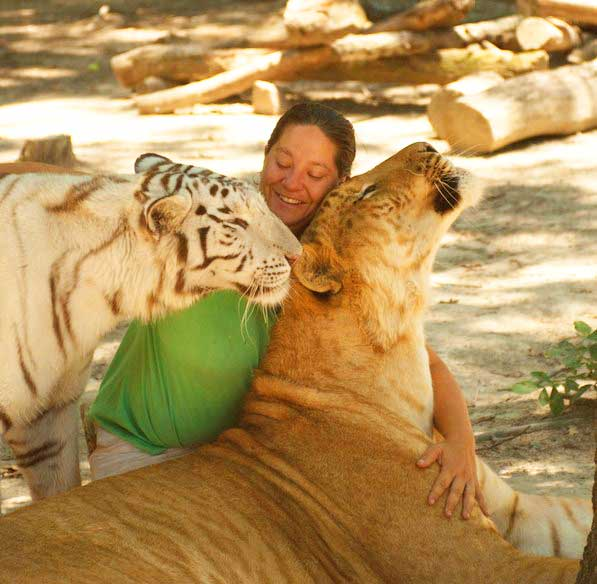 Tiger World Liger Zoo offers an awesome experience with ligers.