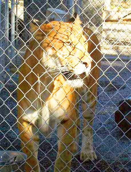 Liger Zoo Wild Life Waystation is located at California, USA.