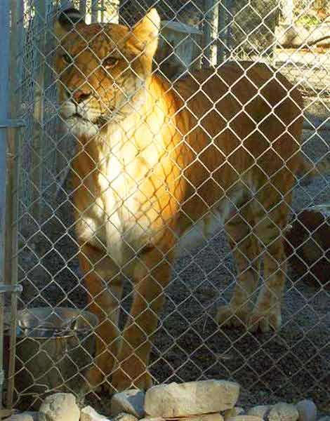 Wildlife Waystation is a famous Liger Zoo at California USA.