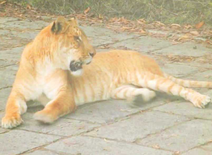 liger Purchase by Wuxi Animal Liger Zoo.