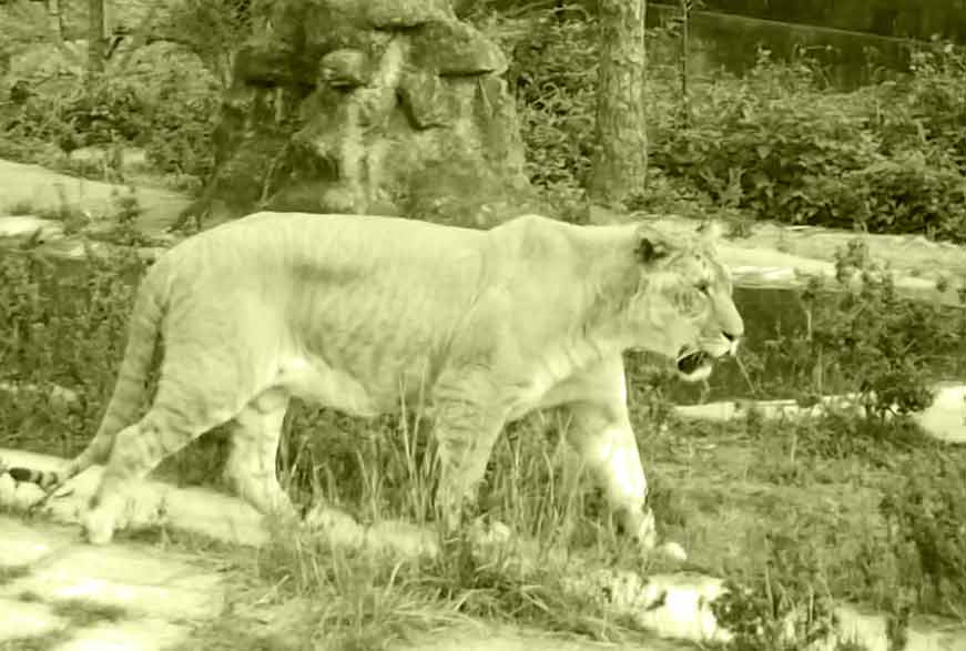 Liger Zoo at Bloemfontein is one of the pioneers in breeding ligers. This Liger Zoo is located at South Africa.