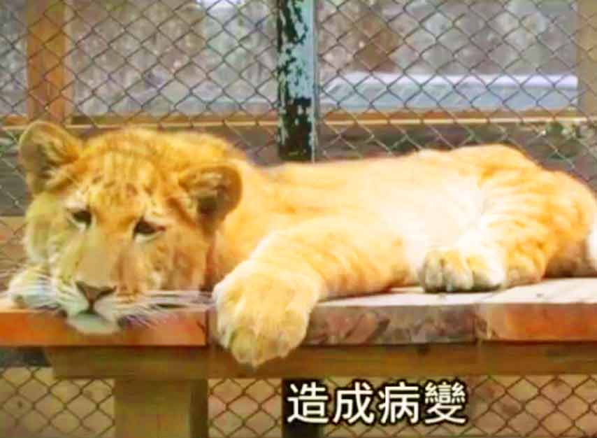 Liger Zoo in Taiwan. Liger Zoos in Taiwan face restrictions.