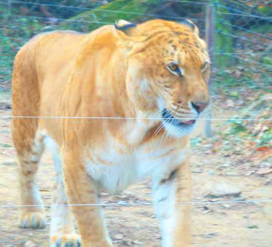 Liger Zoos offer Animal Conservation and animal preservation.