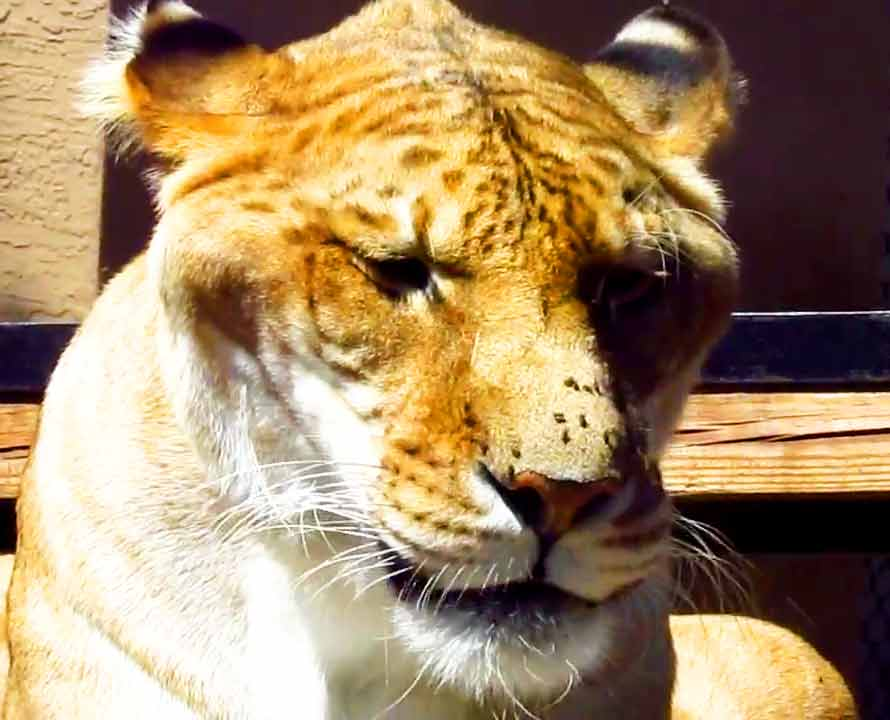 Liger Zoos are also facing a lot of criticism for cross breeding of lions and tigers.