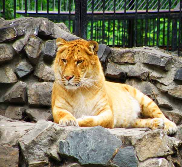 Liger Zoos are gaining huge amount of popularity throughout the world.