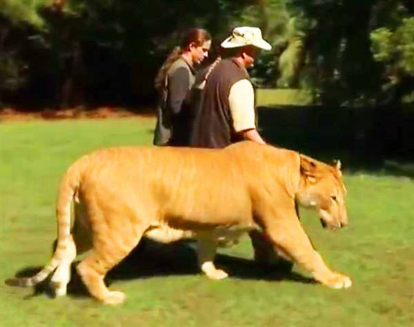 Liger Zoos in USA are maximum and represents half of total worlds liger zoos.